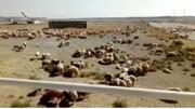 ویدئو | تصاویری جدید از گوسفندانی که در فرودگاه امام فرود آمده بودند
