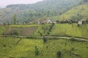 شش هزار هکتار باغ چای در استانهای شمالی رها شدهاند
