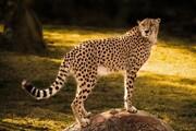 خطر انقراض | یوز ماده در ۴ سال گذشته دیده نشده است