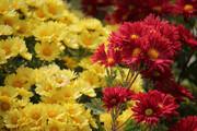 هلند ایران میزبان نمایشگاه گلهای داوودی
