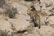 فیلم   تصویربرداری از پلنگ در پارک ملی بمو