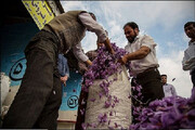 افت شدید قیمت گلهای زعفران در فاروج