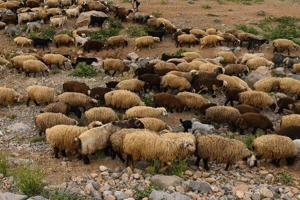 گله گوسفند