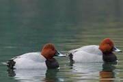 فرود۲۵۰۰ اردک سرحنایی در تالابکانیبرازان