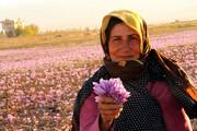 تصاویر | برداشت و خشک کردن زعفران در فاروج