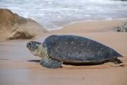 ویدئو | رهاسازی دو لاکپشت رو به انقراض در سواحل کیش