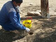 هجوم بیسابقه موشهای صحرایی به مزارع و باغهای خفر