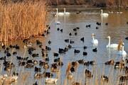تالابهای نقده میزبان ۵ هزار قطعه پرنده مهاجر