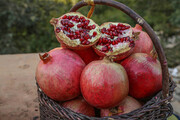برداشت یاقوت سرخ از باغهای سروآباد آغاز شد
