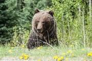 ویدئوی دیدنی از مشاهده خرس قهوهای در ارتفاعات ارومیه