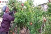 فیلم | انارهای باغی که هر سال وقف فقرا میشود