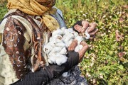پنبههایی که رشته شد | کوچ طلای سفید به مزارع استانهای همسایه