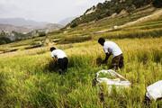 تصاویر | برداشت سنتی برنج در روستای کریک دنا
