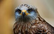 ویدئو | تاکتیک باورنکردنی شاهین برای شکار اردک سرسبز
