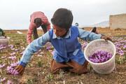 تصاویر | برداشت زعفران از مزارع زاوه و تربت حیدریه