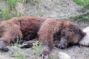 مرگ خرس قهوهای در نوربه دست شکارچیان