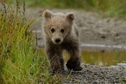 شناسایی شکارچیان خرس قهوهای در دنا