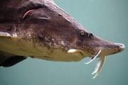 ماهیان خاویاری خزر در مسیر انقراض