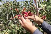 کاهش تولید محصولات باغی کرمان/افت ۵۰ درصدی تولید پسته