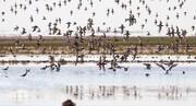 افزایش ۴ برابری پرندگان مهاجر در تالاب میقان اراک