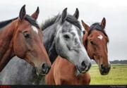 اسبها درد را احساس میکنند؛ شلاق نزنید