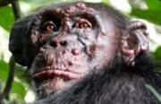 جذام برای اولین بار در شامپانزهها دیده شد