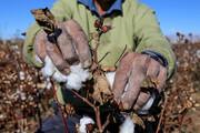 تصاویر | برداشت پنبه از مزارع مانه و سملقان