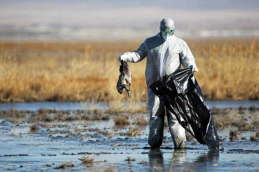 تالاب ميقان + آنفلوآنزاي فوق حاد پرندگان