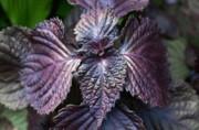 گیاه مریم گلی و نعنا بر کروناویروس موثرند