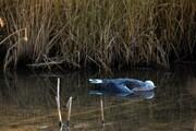 جمعآوری ۲۵۱ لاشه پرنده در تالاب میقان اراک