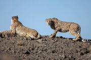 ویدئو | مشاهده دو یوزپلنگ در پارک ملی توران شاهرود