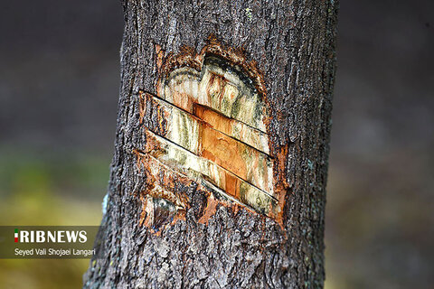 زمینخواری عجیب در جنگلهای شکتا!