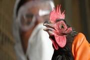 ۹ استان گرفتار آنفلوآنزای حاد پرندگان | ۹۶۰ هزار قطعه طیور معدوم شدند