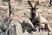 دستگیری شکارچیان کل وحشی در ارتفاعات جهاننما