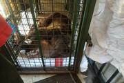 یک قلاده خرس قهوهای در نوشهرزندهگیری شد
