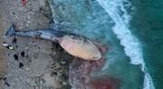تمام دلایل احتمالی مرگ نهنگها در کیش