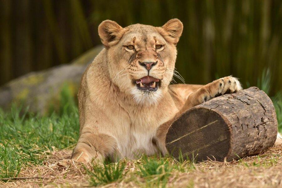 lion - شیر - حیوان