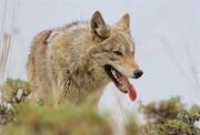 هجوم گرگها به سطح معابر شهر سقز
