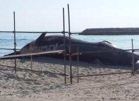 آغاز بررسی و نمونهبرداری از لاشه نهنگ در کیش
