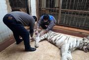 ویدئو | حمله ببر نر به ببر ماده در باغ وحش ارم | ببر ماده تلف شد