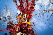 تصاویر   آخرین برگهای رنگارنگ پاییزی در کرمانشاه