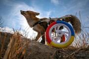 عکس روز | روباه با صندلی چرخدار
