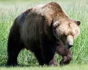 تصویری دلخراش از حمله خرس به مرد روستایی