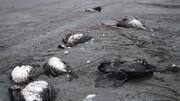مرگ مشکوک مرغان دریایی در ساحل بابلسر   هشدار برای آنفلوآنزای فوق حاد پرندگان