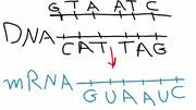 مفاهیم: RNA پیام رسان یا mRNA چیست؟