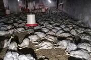شش هزار مرغ در آتشسوزی مرغداری مهاباد کباب شدند