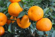 لزوم برداشت نارنج برای پیشگیری از خسارت مگس میوه