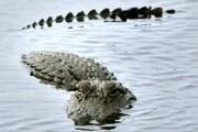 تصویری حیرتانگیز و نادر از شکار شدن یک تمساح توسط دو پلنگ