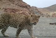 یک قلاده پلنگ ایرانی در چهارمحال و بختیاری مشاهده شد