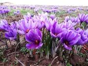 افزایش ۴۵ درصدی تولید زعفران در محلات